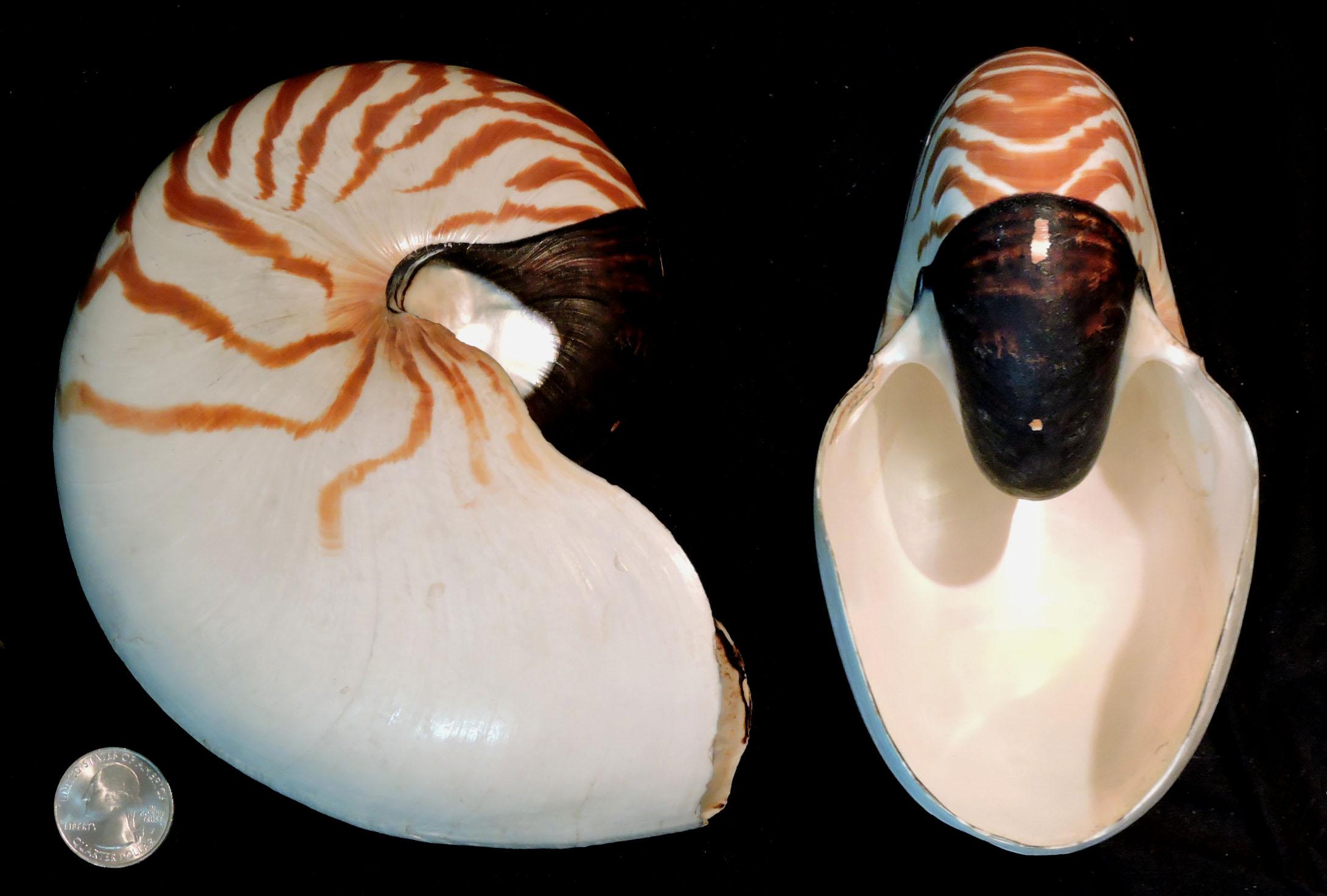 Nautilus pompilius picture 1