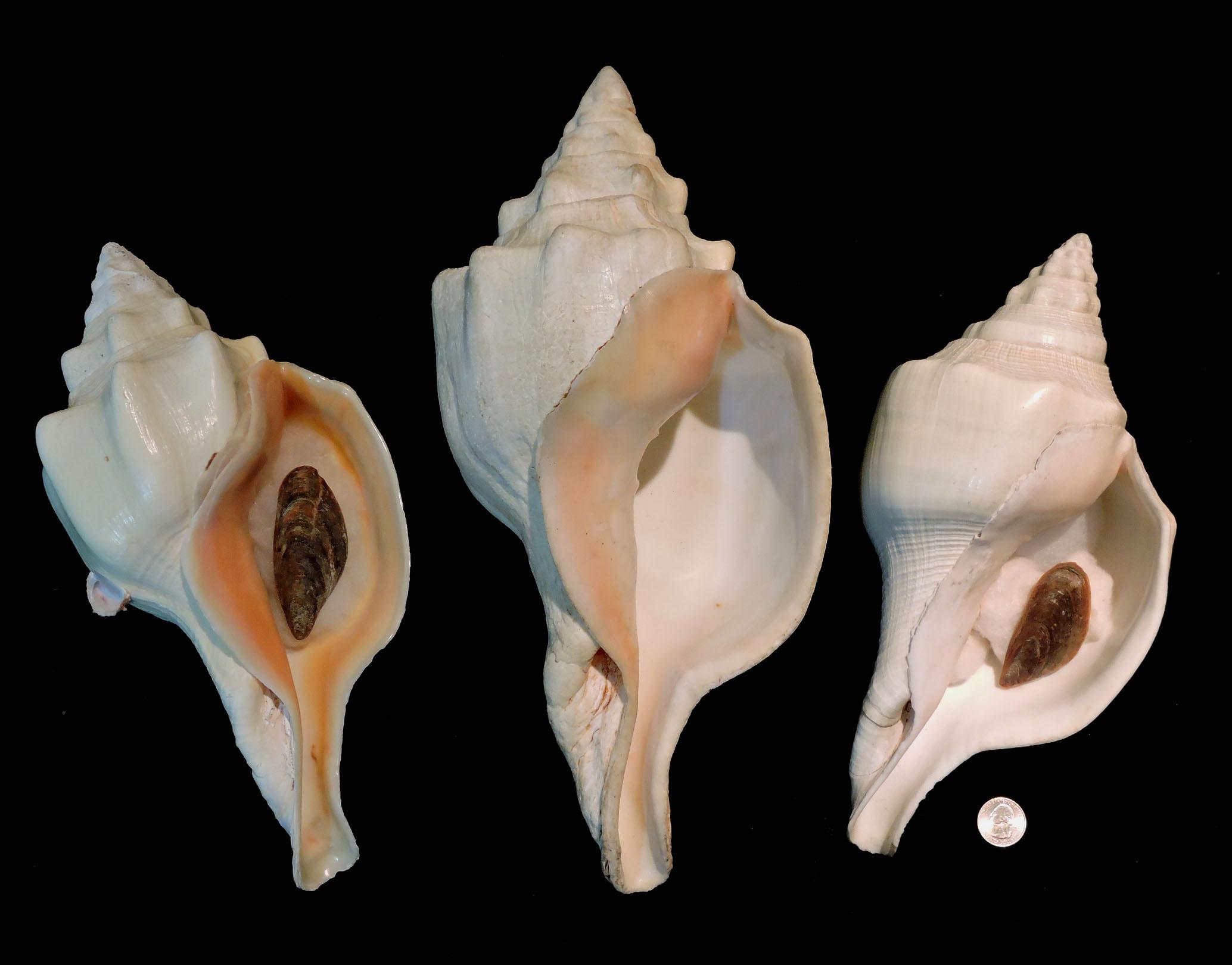 Turbinella angulata picture 2